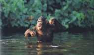 Aquatic Apes