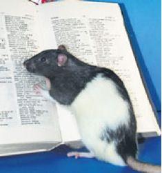 Rat Made Supersmart — Similar Boost Unsafe in Humans?