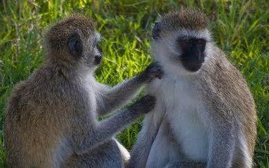Monkey Economicus?